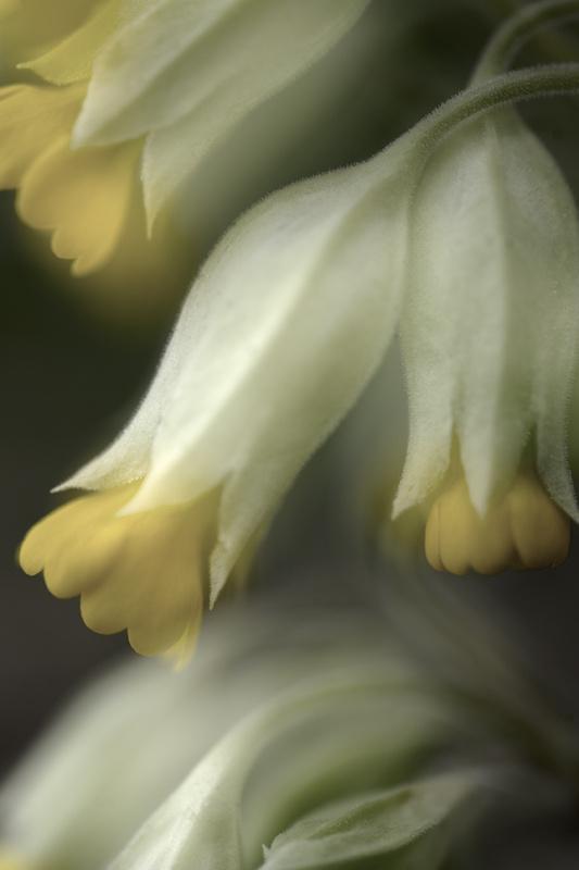 Vintage Cowslips - Beautiful Flowers