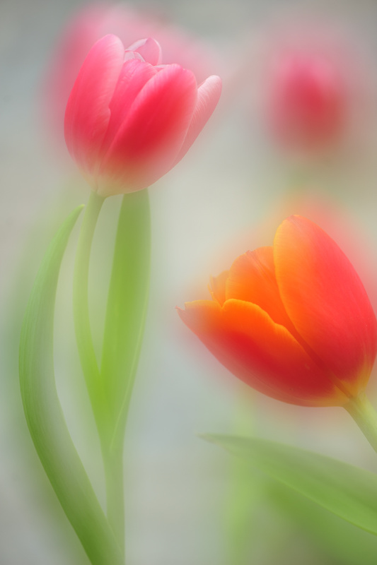 2.1 Tulips - Beautiful Flowers
