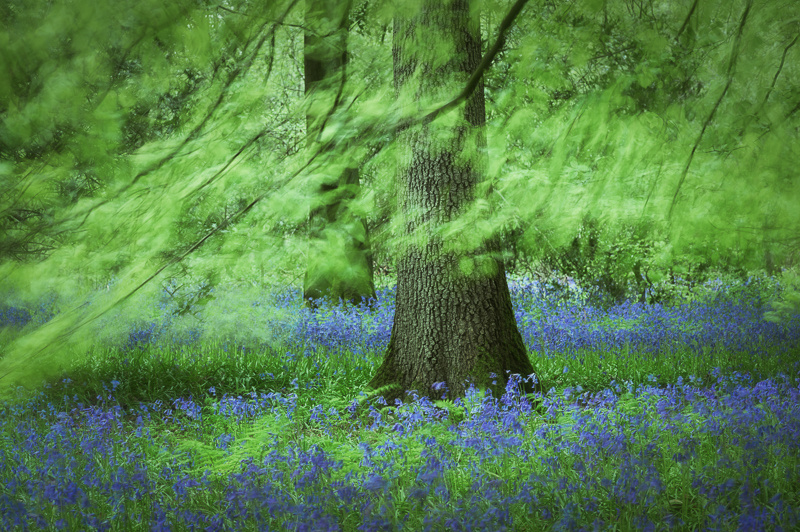 Bluebell woods photograph
