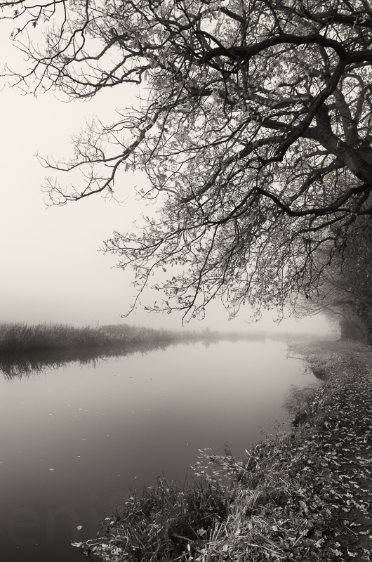 Fog and Oak tree, River Wey