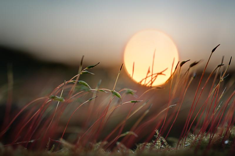 Moss Macro Sunset