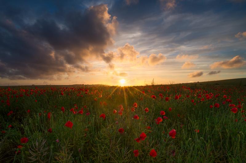 wild Poppies at sunset