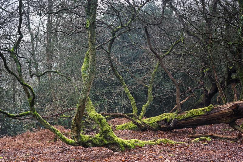 Lichen covered branches, St Martha's Hill, Surrey