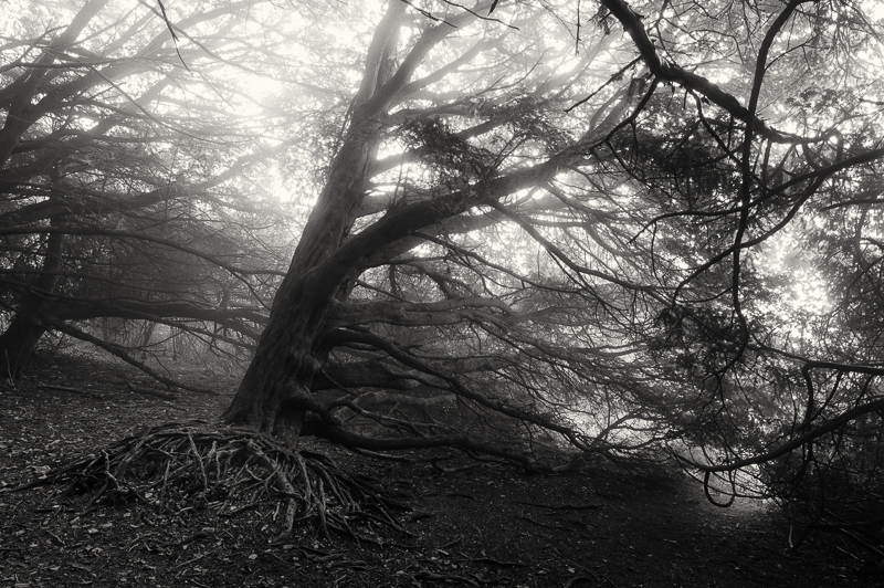 Ancient Yew Trees, Newlands Corner, Guildford, Surrey