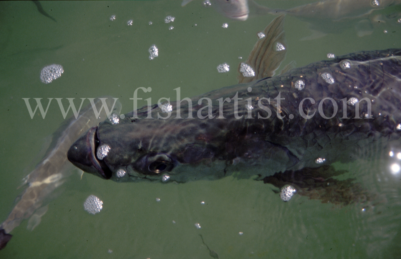 Underwater Silver King. - Bonefish & Tarpon.