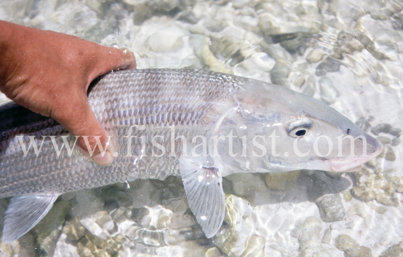 Bonefish Capture. - Bonefish & Tarpon.
