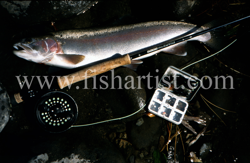 Hydro Pool Hen. - Trout of the Tongariro River.