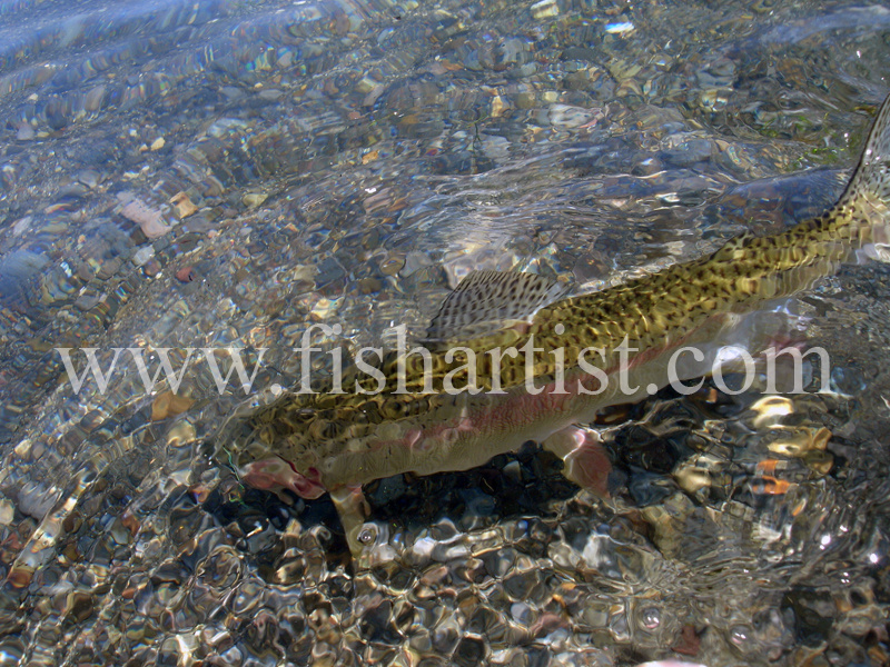 Free Trout. - Trout Fishing - Taupo New Zealand.