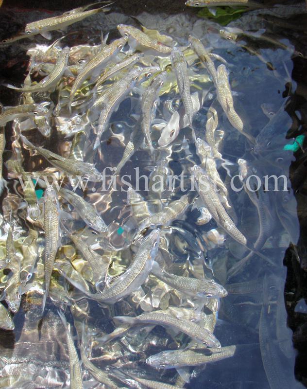 Sardines 2010. - Bonefishing 2010.