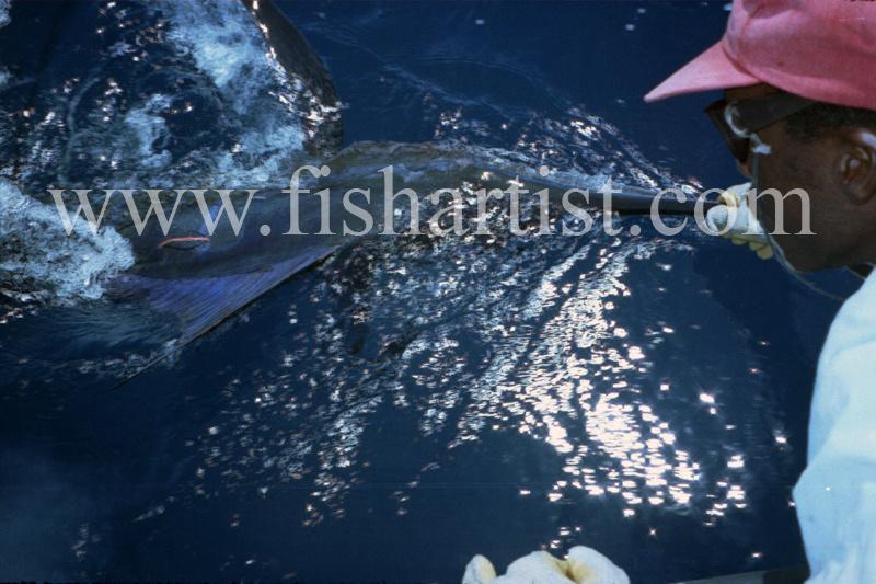 Marlin Release. - Marlin Fishing.