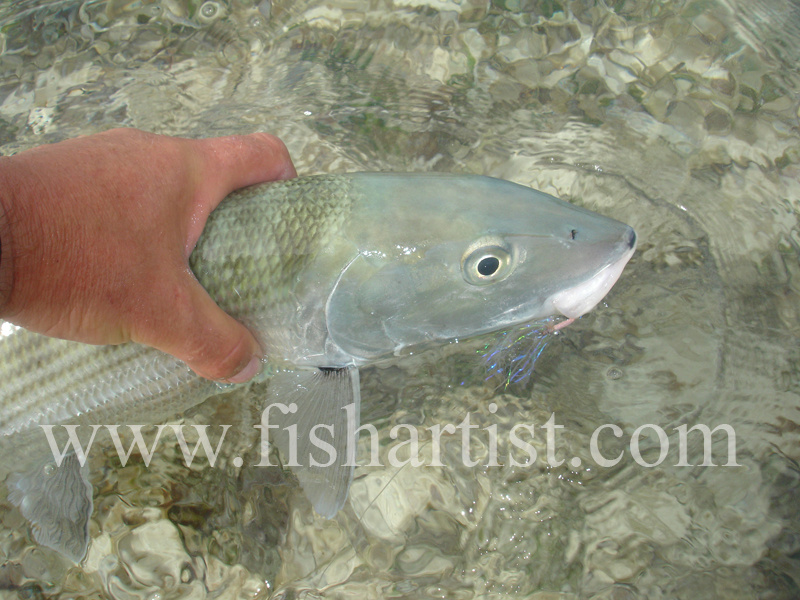 Bonefish Photo - Held Bonefish. - Bonefish & Tarpon.