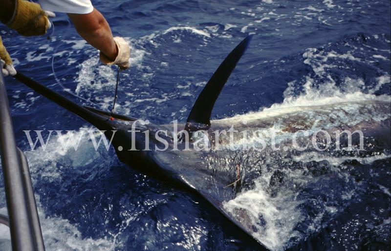 Unhooking a Marlin. - Marlin Fishing.