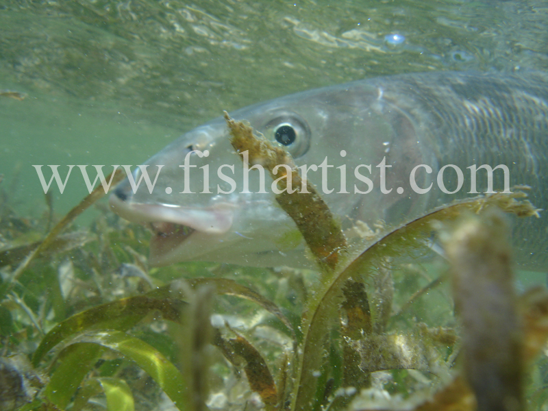 Bonefish Photo - Between the Seagrass. - Bonefish & Tarpon.