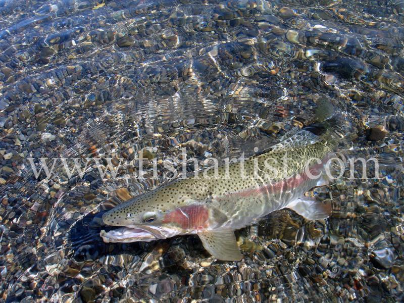 Waitahanui Jack. - Trout Fishing - Taupo New Zealand.