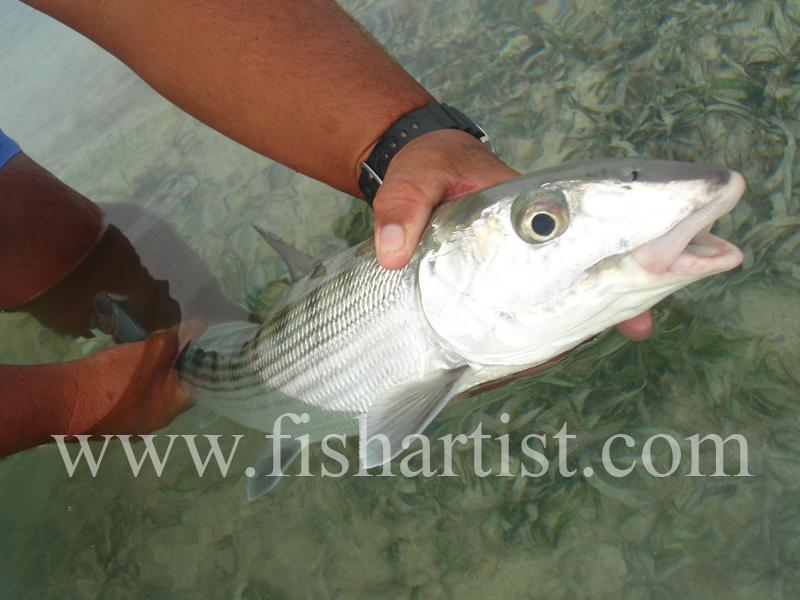 Held Bonefish. - Bonefish & Tarpon.
