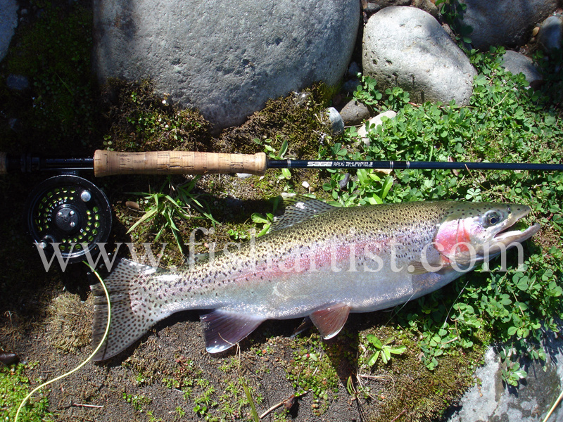 Summer Tongariro Trout. - Trout of the Tongariro River.