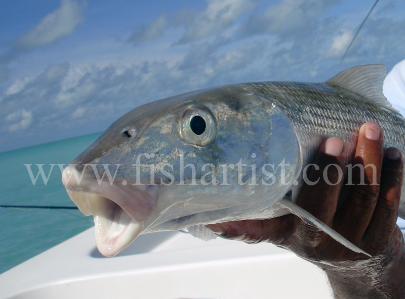 Captured Bonefish. - Bonefish & Tarpon.