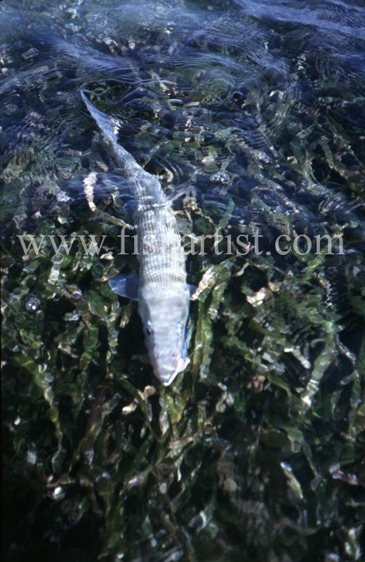 Sea Grass Bonefish. - Bonefish & Tarpon.