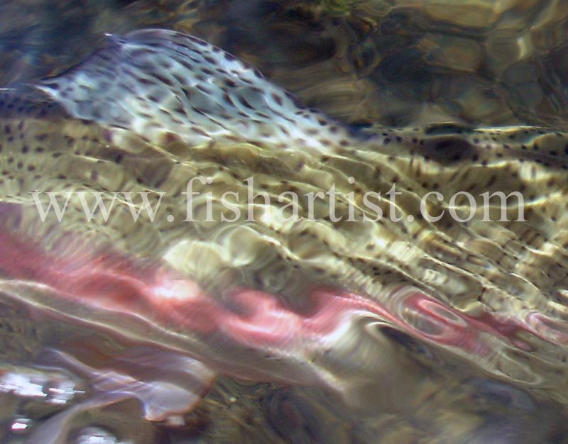 Taupo Rainbow Reflections. - Trout Fishing - Taupo New Zealand.