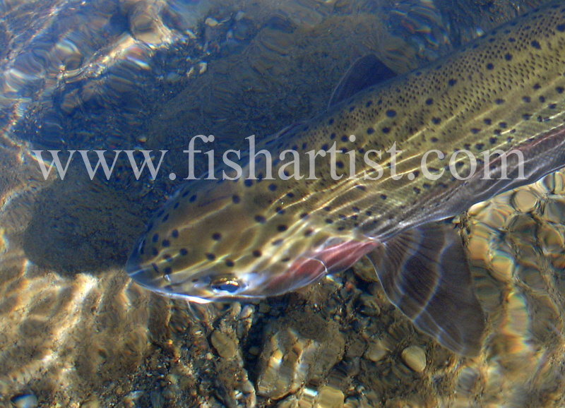 Closeup Trout Reflections. - Trout Fishing - Taupo New Zealand.