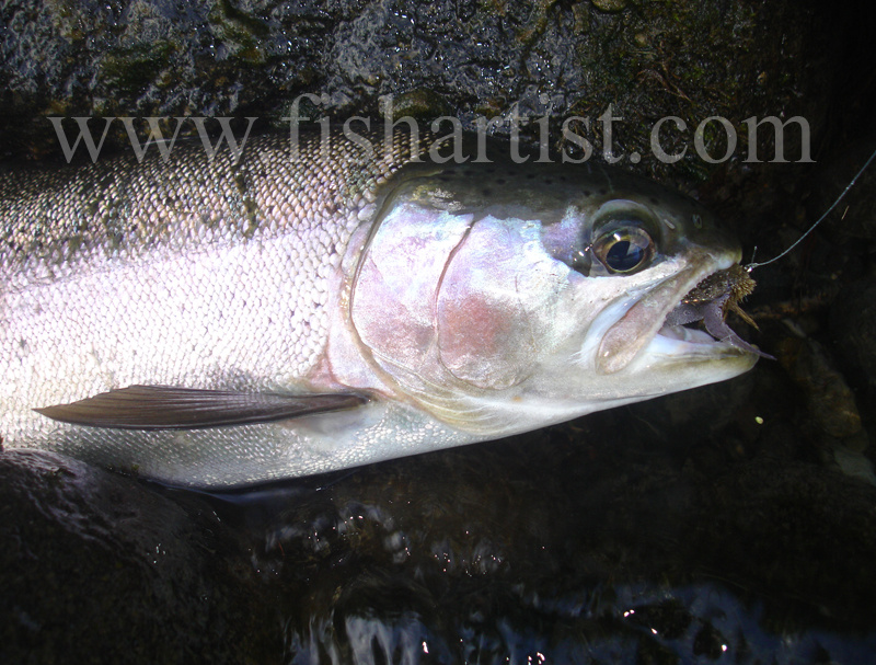 Tongariro Silver Rainbow Hen. - Trout Fishing - Taupo New Zealand.