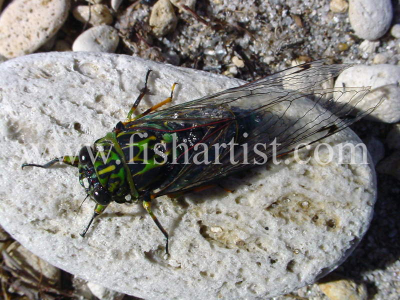 Cicada. - Trout Fishing - Taupo New Zealand.