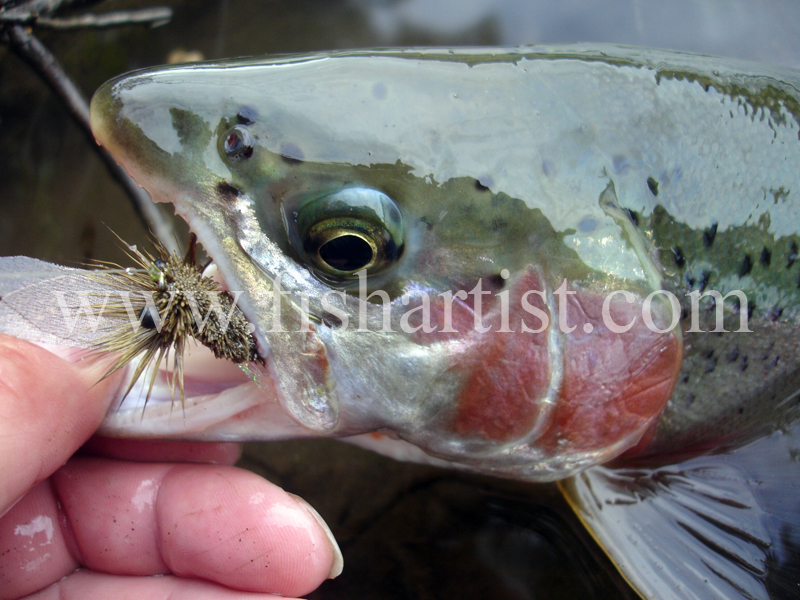 Trout & Dry Fly. - Trout Fishing - Taupo New Zealand.