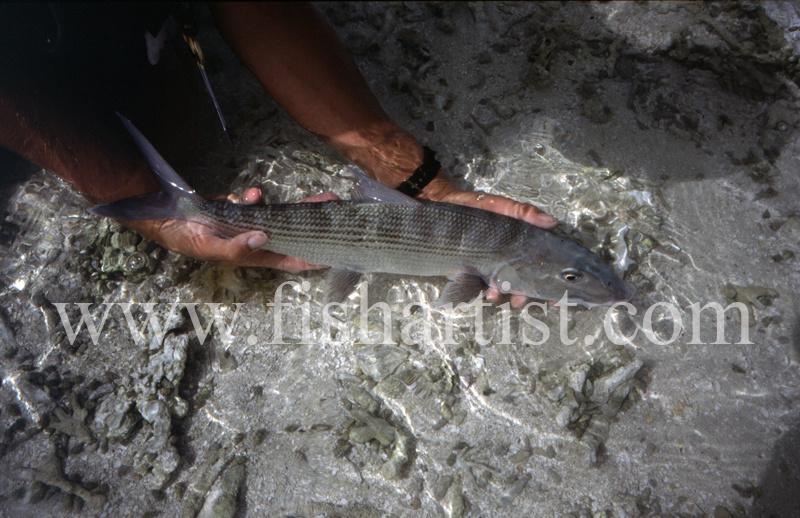 Bonefish Release. - Bonefish & Tarpon.