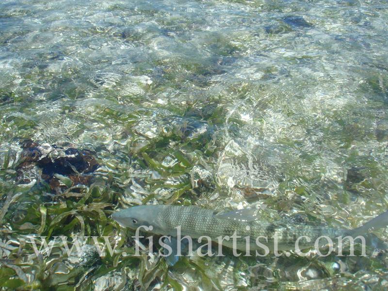 Bonefish Photo - Freedom. - Bonefish & Tarpon.
