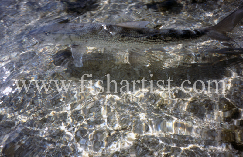 Flats Fish. - Bonefish & Tarpon.
