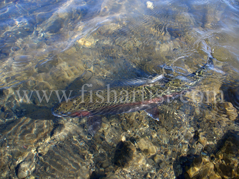 Reflections of a Trout. - Trout Fishing - Taupo New Zealand.
