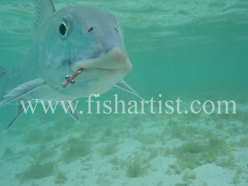 Bonefish Photo - Head on Underwater. - Bonefish & Tarpon.
