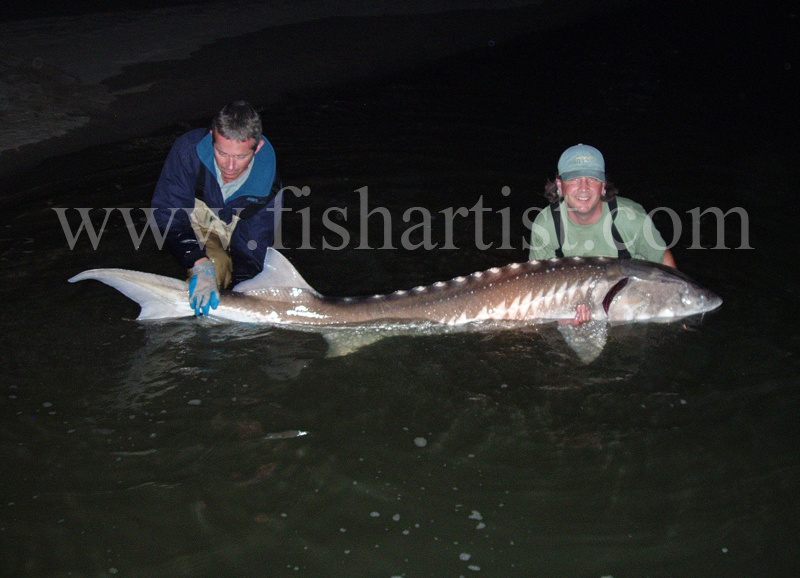 Monster Sturgeon. - Sturgeon of the Fraser River.