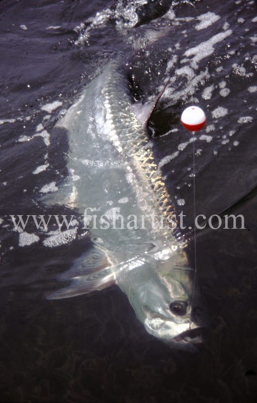 Caught Tarpon. - Bonefish & Tarpon.