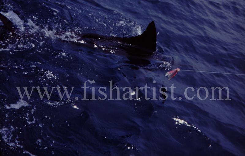 Marlin Fin. - Marlin Fishing.