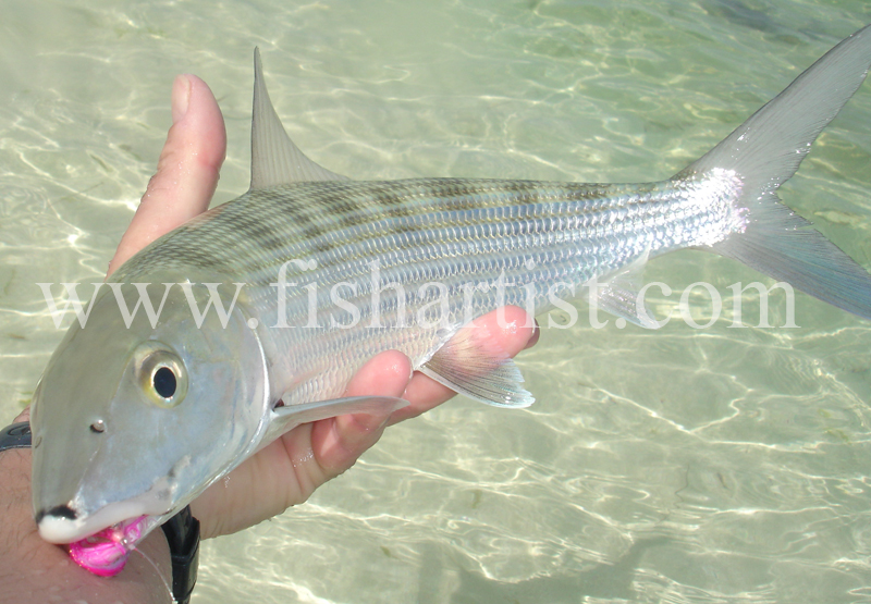 Bonefish in a Fishermans Hand. - Bonefish & Tarpon.