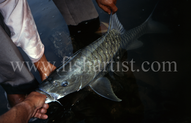 Mahseer Capture. - Mahseer Fishing India.