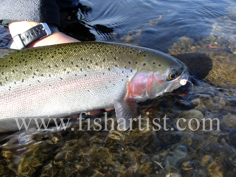 Glo Bug Hen Release. - Trout Fishing - Taupo New Zealand.