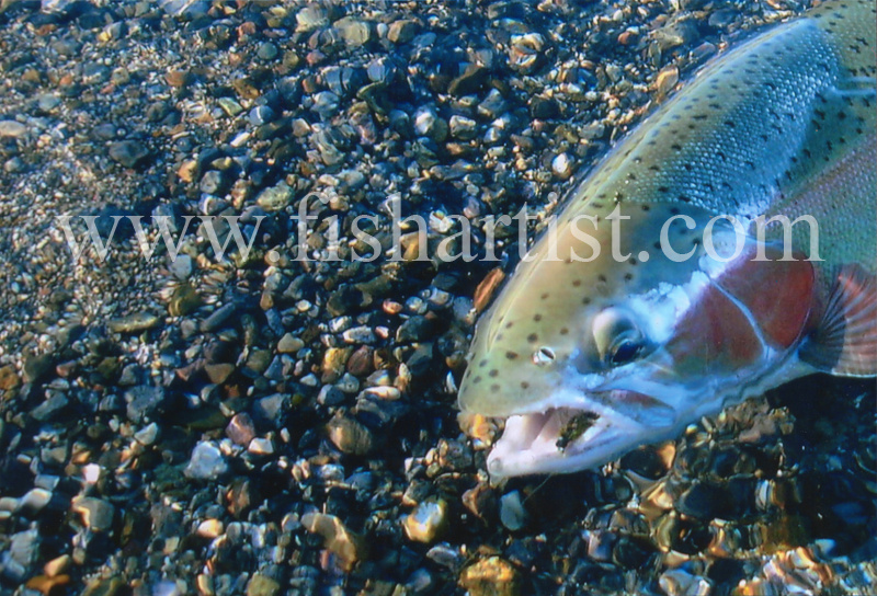 Trout with Fly. - Trout Fishing - Taupo New Zealand.