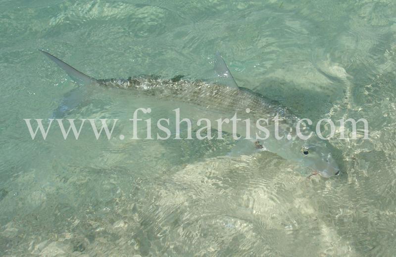 Bonefish Photo - Shore Release. - Bonefish & Tarpon.