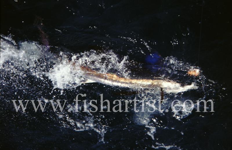 Free Swimming Sailfish. - Marlin Fishing.