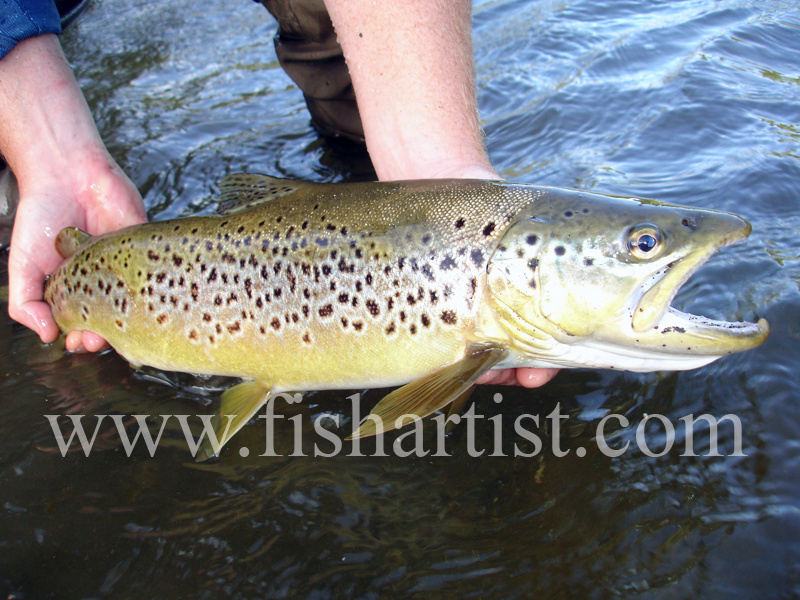 Back Country Brown Trout. - Trout Fishing - Taupo New Zealand.