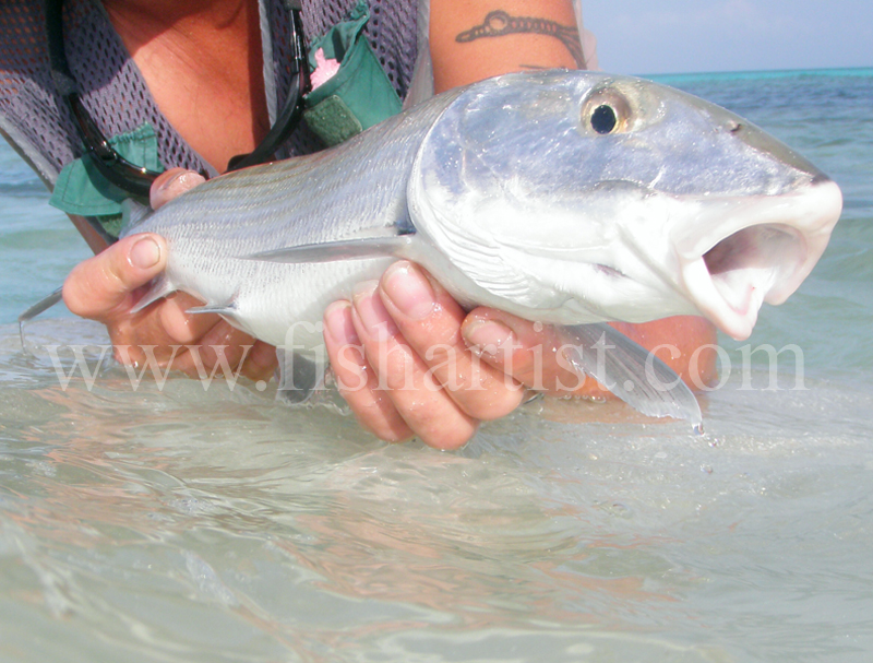 Bonefish Photo 2010. - Bonefishing 2010.
