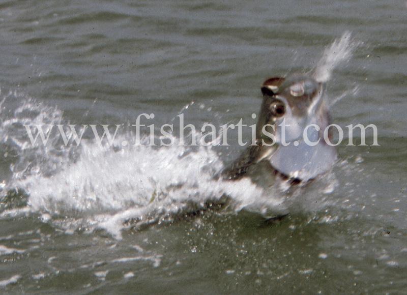 Fighting Tarpon. - Bonefish & Tarpon.