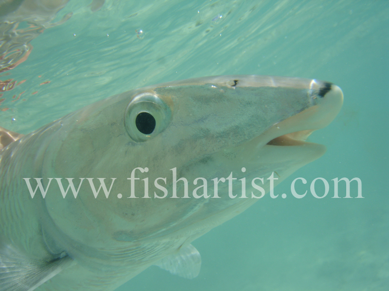 Bonefish Photo - Frightened Eye. - Bonefish & Tarpon.