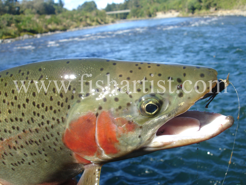 Tongariro & Trout. - Trout of the Tongariro River.