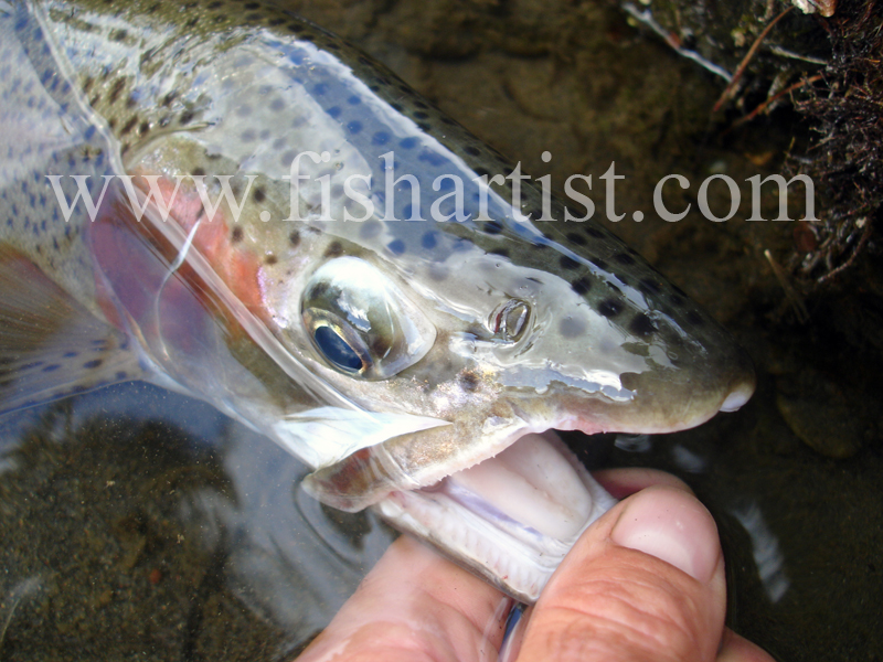 Trout Head. - Trout of the Tongariro River.
