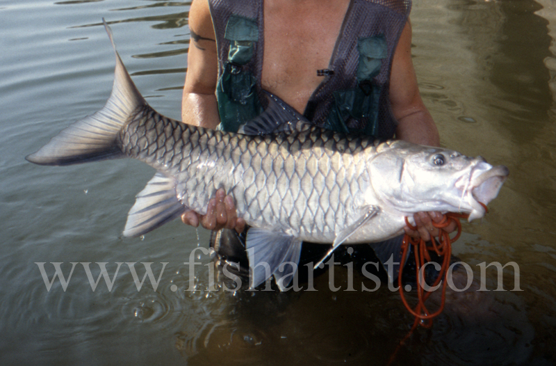 45lb Silver Mahseer. - Mahseer Fishing India.