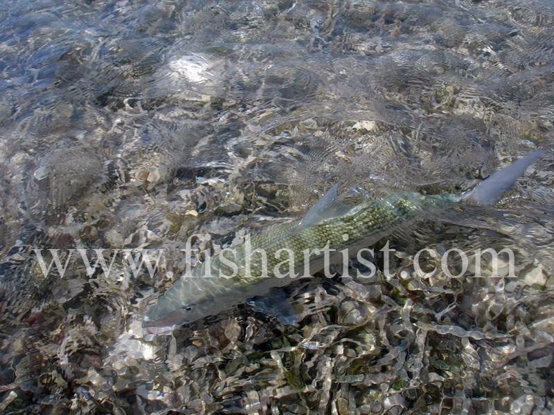 Bonefish Photo - Blending In. - Bonefish & Tarpon.