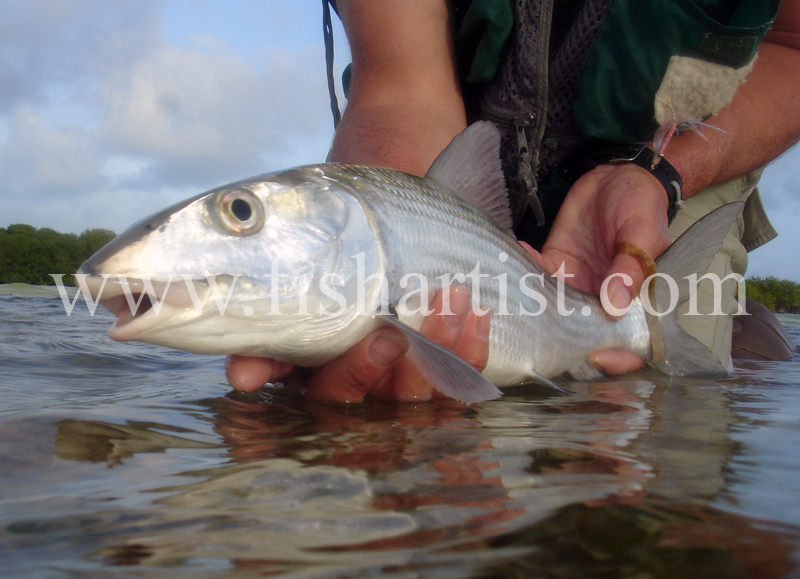 Bonefish Photo - Head On Release. - Bonefish & Tarpon.